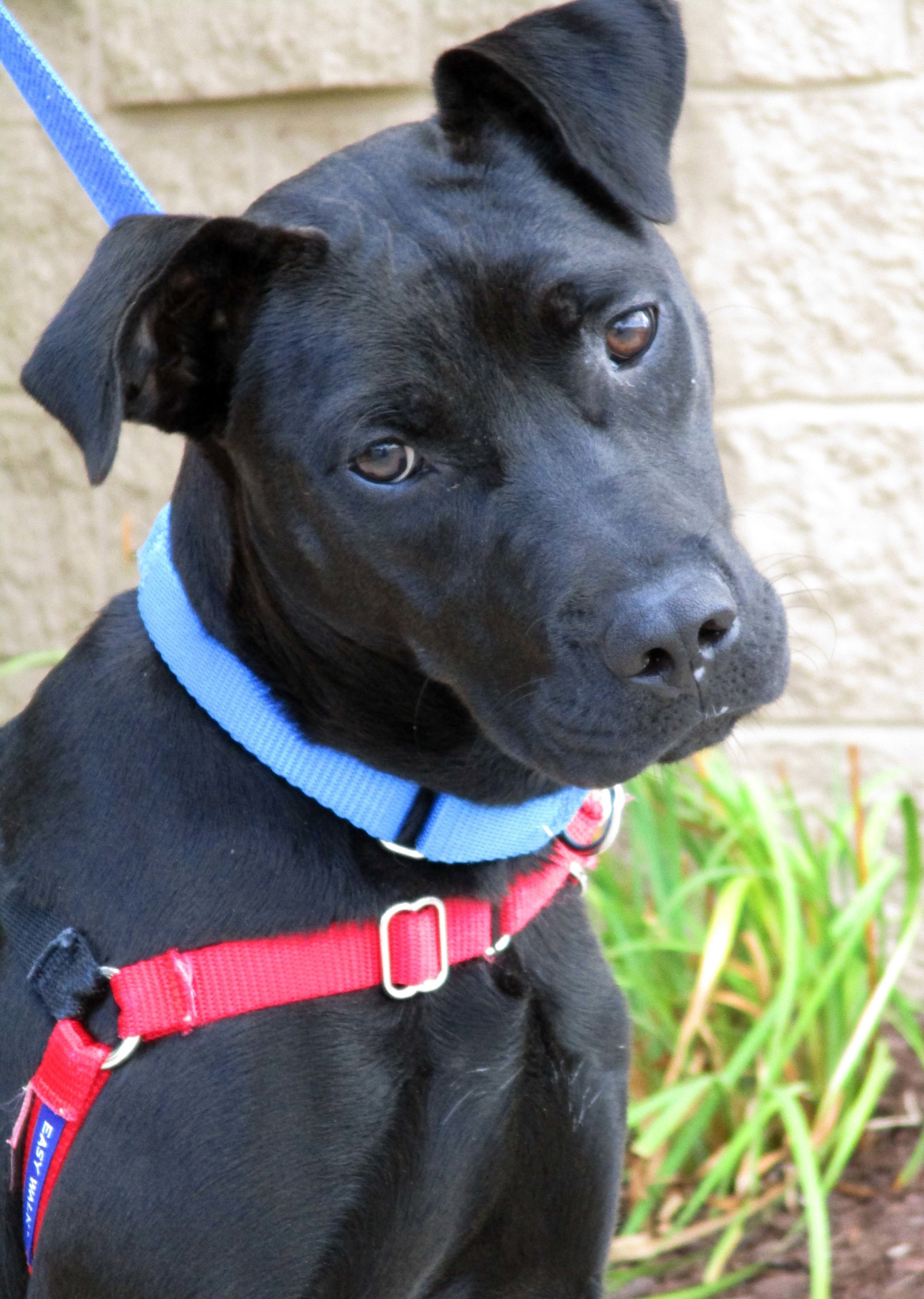 Mina is a 10 month old Labrador Mix. She can be sensitive to her muzzle being handled and she loves her chews. Mina did fine with a cat, but is more selective with dogs. If you can promise a lot of petting and toys, she'd be happy to accept you!
