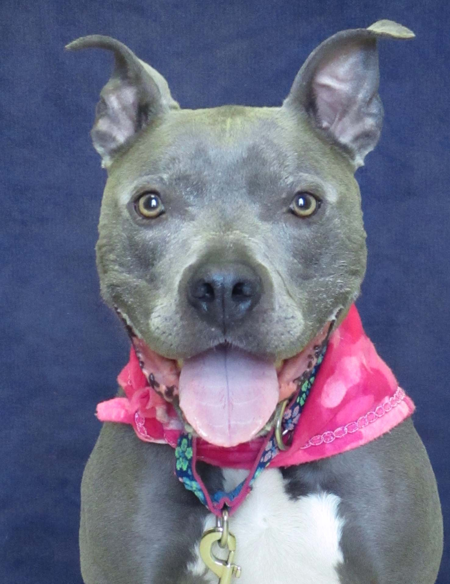 Gotti is a 7 years old Pitbull Terrier. She has the cutest smile that will make your day no matter what. We are recommending children 10 and older due to her strength and her love of food. She may do best as the only pet. She loves playing with squeaky toys, and leaning into you for petting.