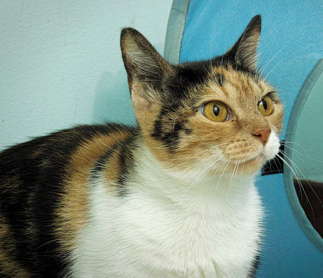 Cali is about 1.5 years old. She is a good looking cat and she knows it!She likes to lounge around and look at birds. Cali will also enjoy the company of a family that loves to play with her.