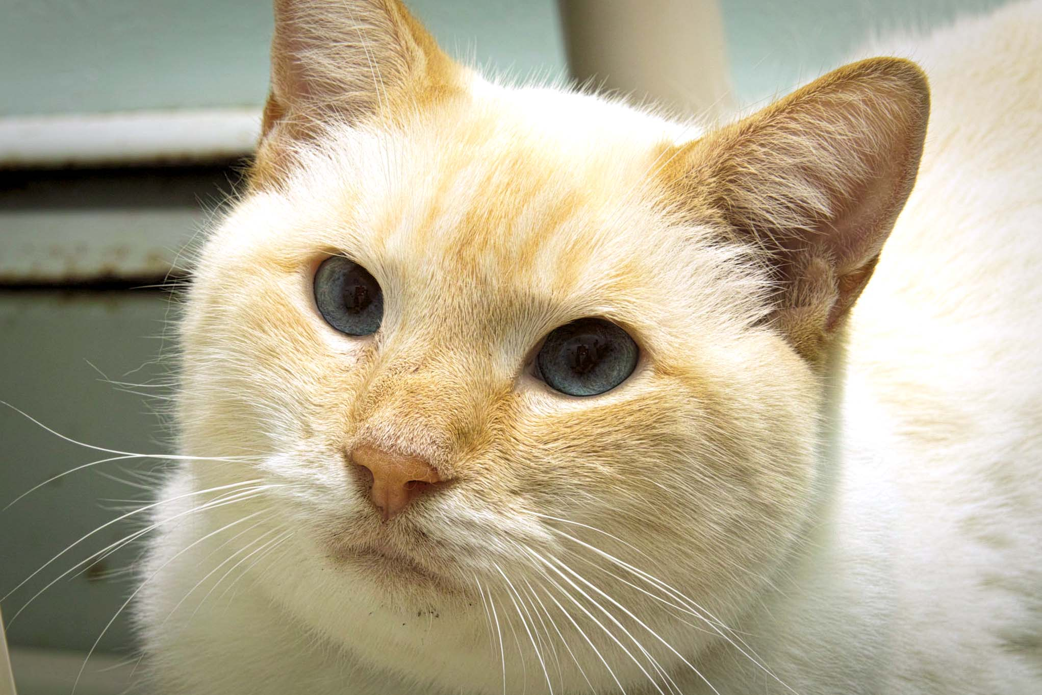 Kitty Kat is 7 years old. He was brought in because his owners were moving and couldn't take him with. He is a spunky cat with a lot of personality! Any household would be lucky to have his company (or so he would have you think).