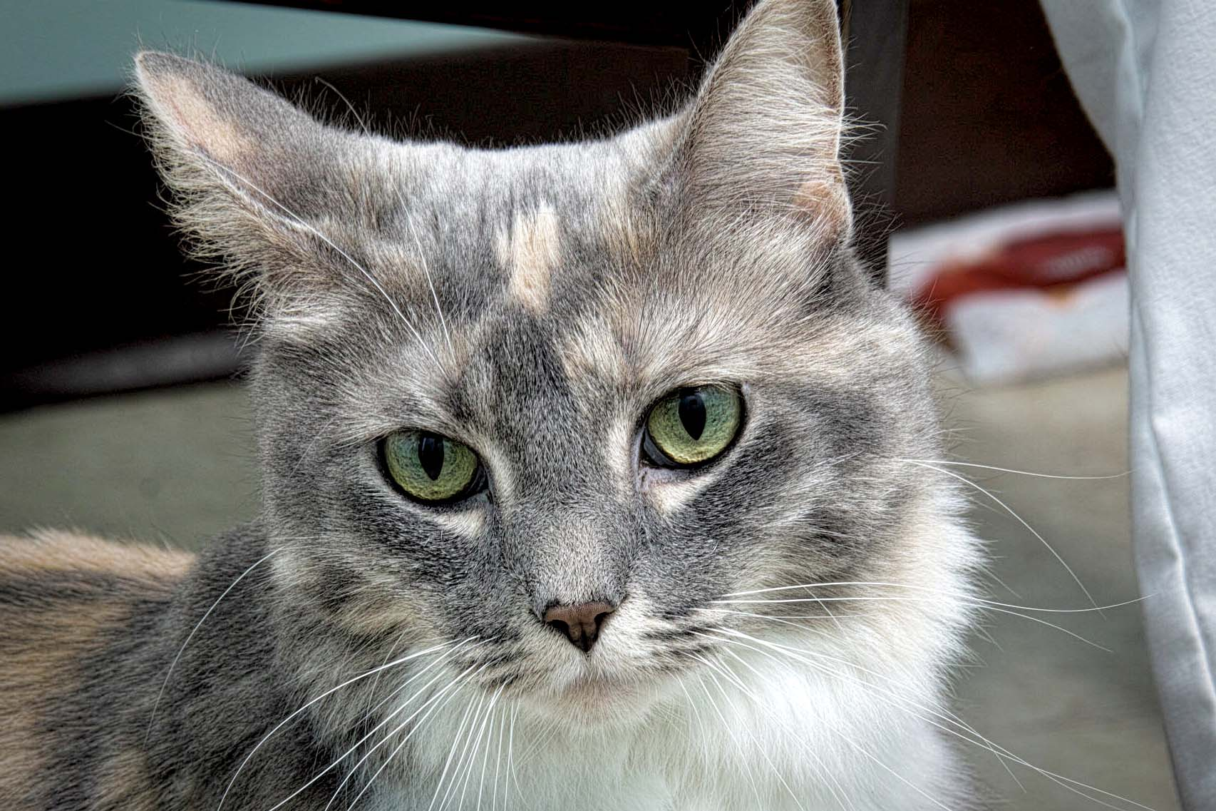 Puffy the cat is 6 years old. Puffy originally came in as a stray soshe has a mysterious past. She is a cat that likes to lounge as well as play, and would make a great addition to any home.
