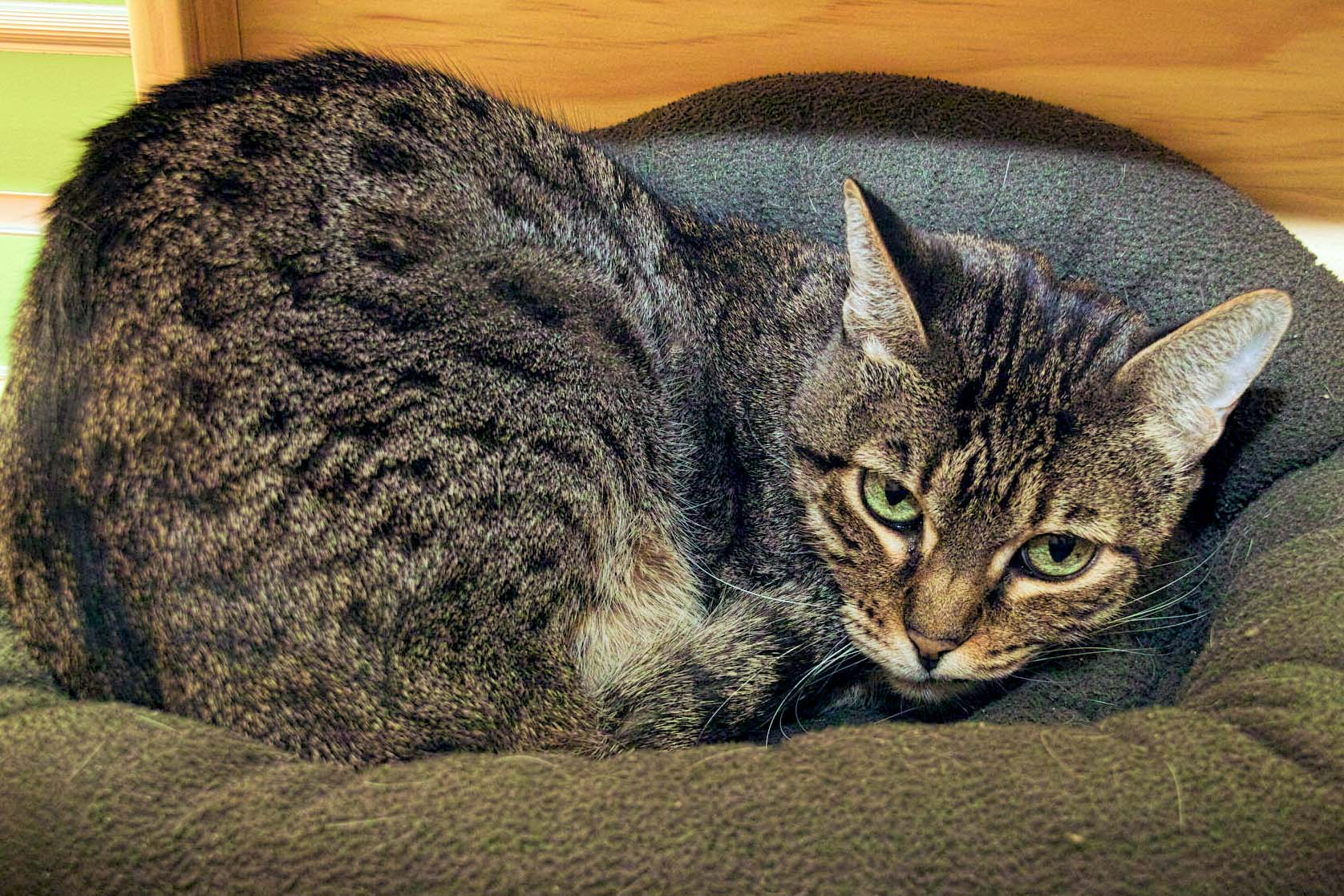 Sylvia is a 12 year old cat that was abandoned in a carrier on HAWS's parking lot. There was no information for her provided. She is doing well here. She can be slow to warm up, but would make a great cat-dition to any home!