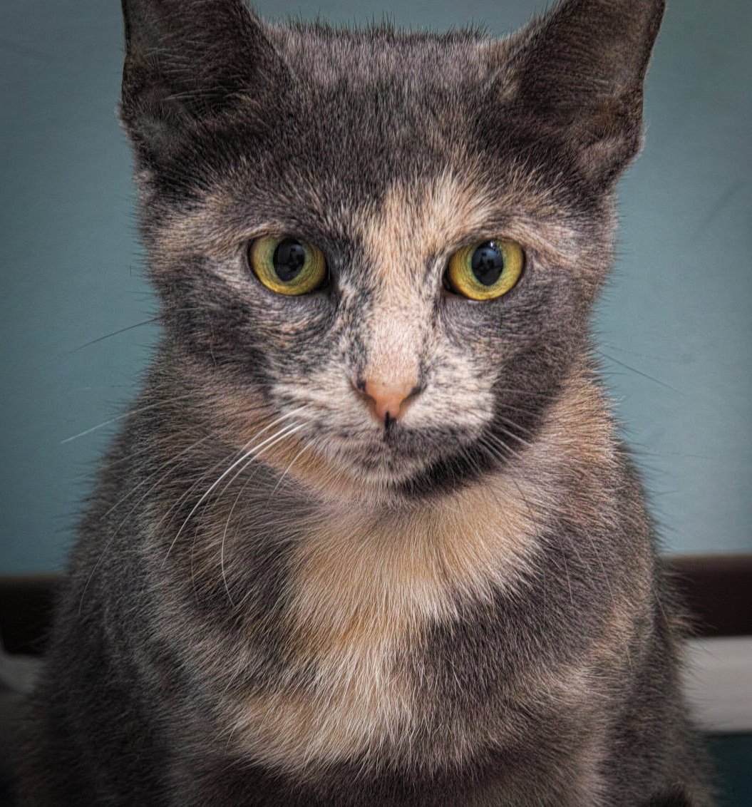 Mona is approximately 2 years old. Her striking look is only matched by her great personality! Mona came in as a stray so we do not know much about her history.