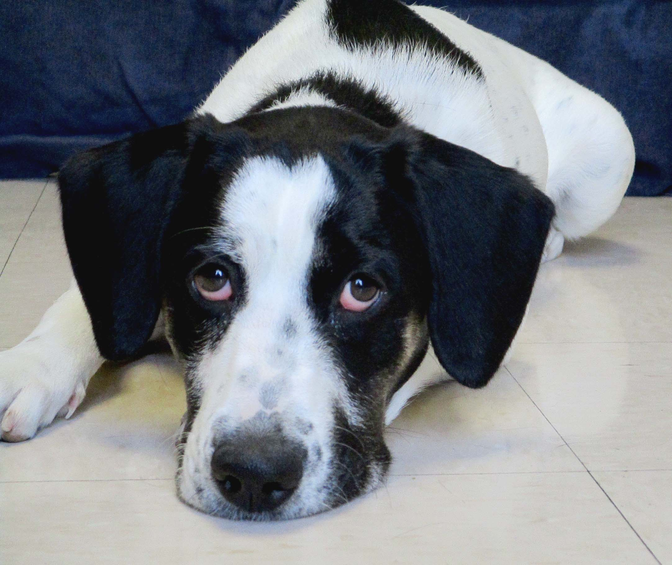 Elsie is a 6 month old Hound Mix that was too much for her previous family to keep up with. She is looking for her furever home, but she needs to be the only pet. Elsie can be intense with food or other high value resources so an experienced home is recommended. Once she warms up she can be very social and your best friend!