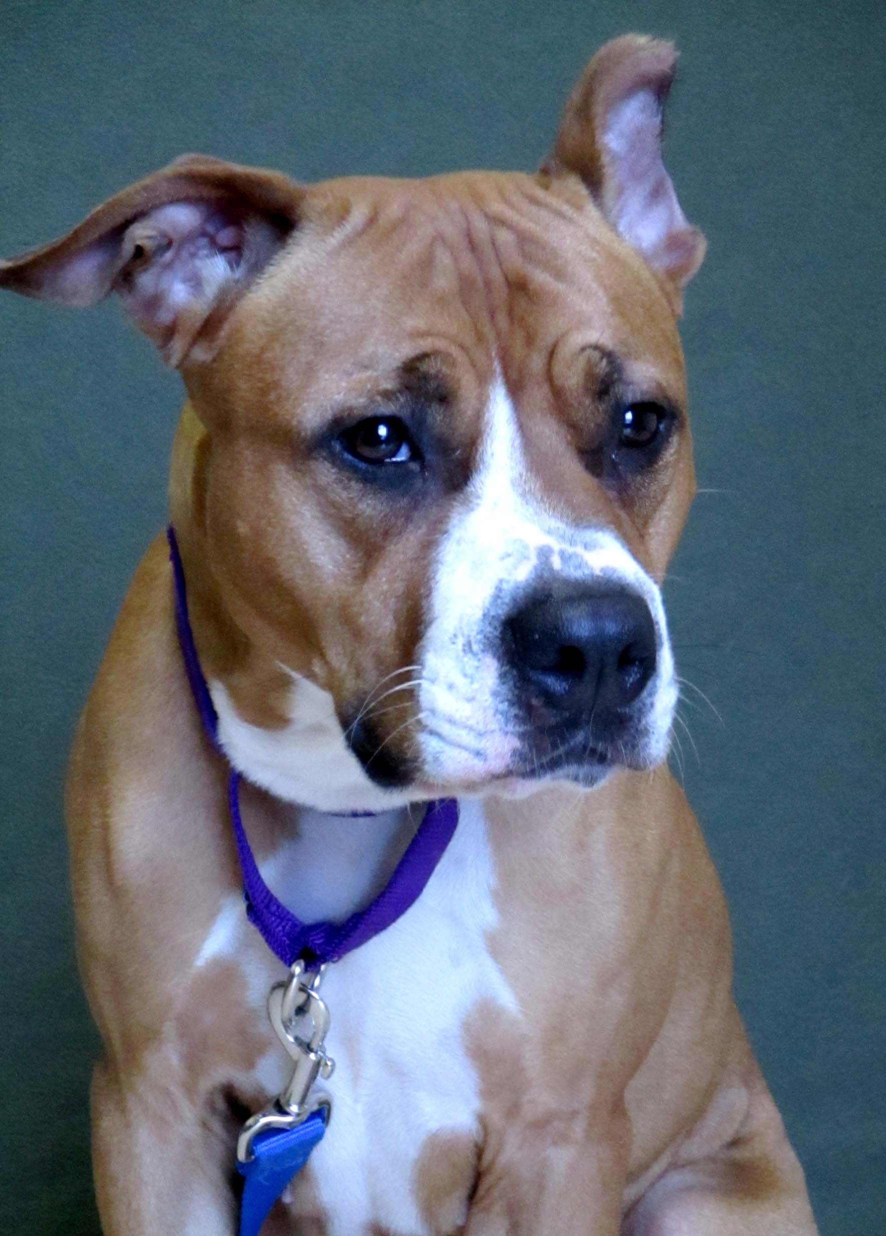 Suki is a 2 year old American Pit Bull Terrier. She would do best in a home with children that are 16 and older due to her being uncomfortable with handling initially. Suki would do best being the only pet. She loves to play with squeaky toys!