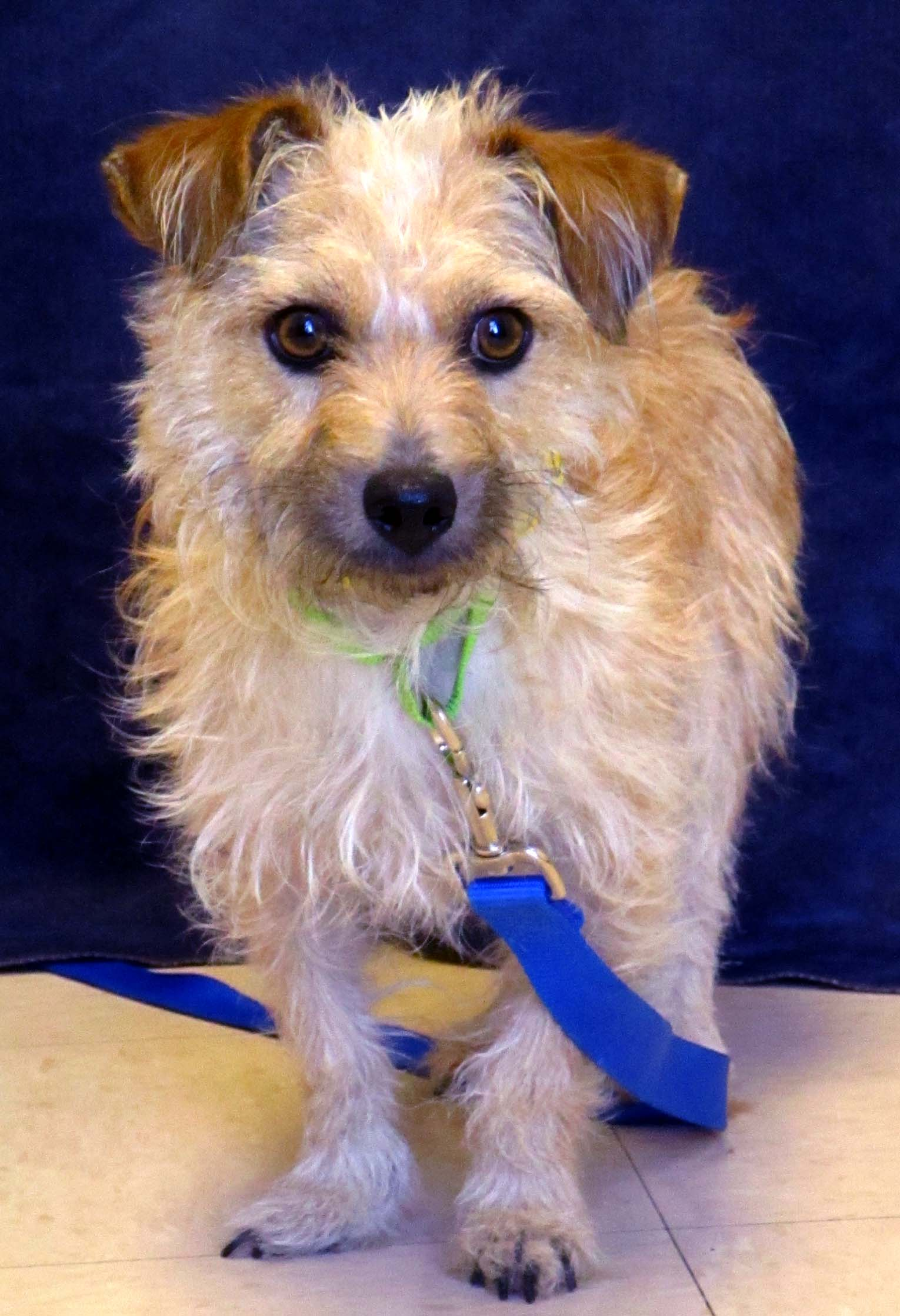 Dracula is a 2 year old terrier mix. He would do best with adults as he needs a calm and quiet home. He did fine with dogs and avoided the cat. He has been spending time with several calm, small sized dogs which has been helping his confidence. Dracula will shine best in a patient home that will give him a lot of time to build trust with the new family and surroundings.
