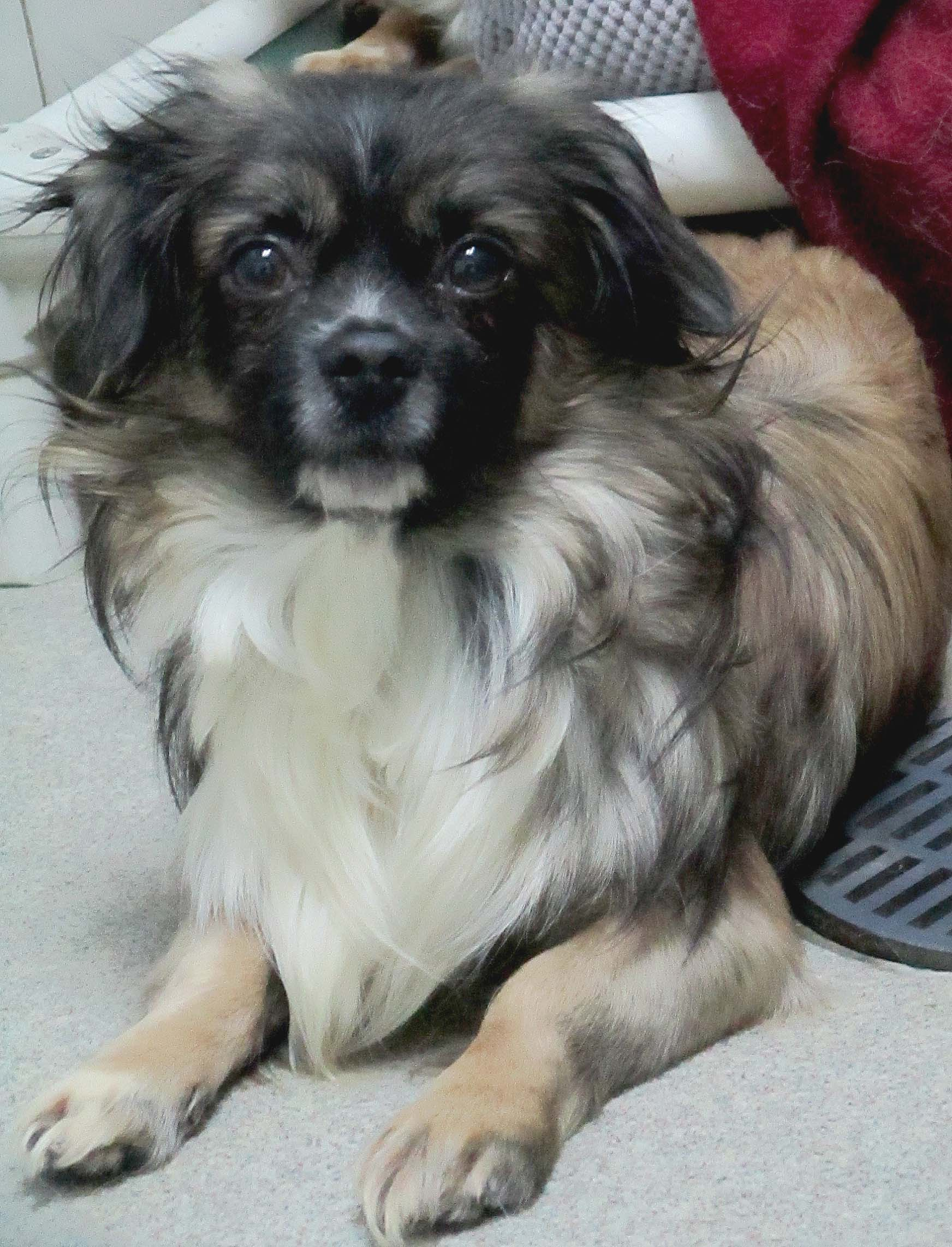 Frosty is a 5 year old Pekingese. He can be slow to warm up to new people and does need help with house training. He is a cuddler when he starts to trust new people.