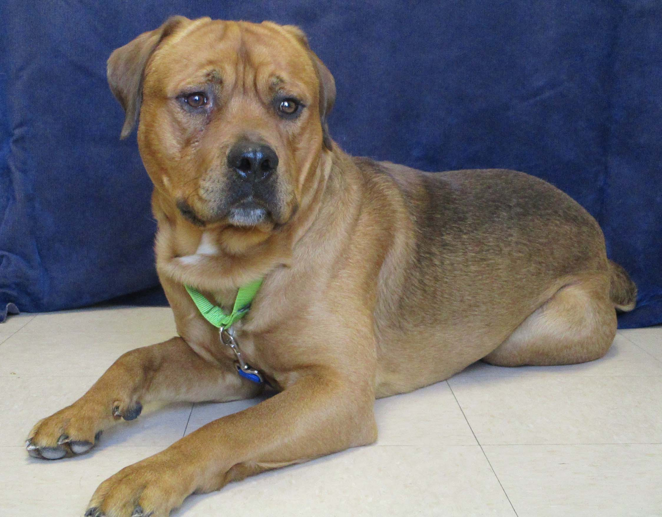 Sarge is a very handsome 1.5 year old Mastiff mix. He would do best in a home with older teens to adults because he is slow to warm up to new people. He does become loose and wiggly with time. If you are looking for a big boy to steal your spot on the couch, he's the one!