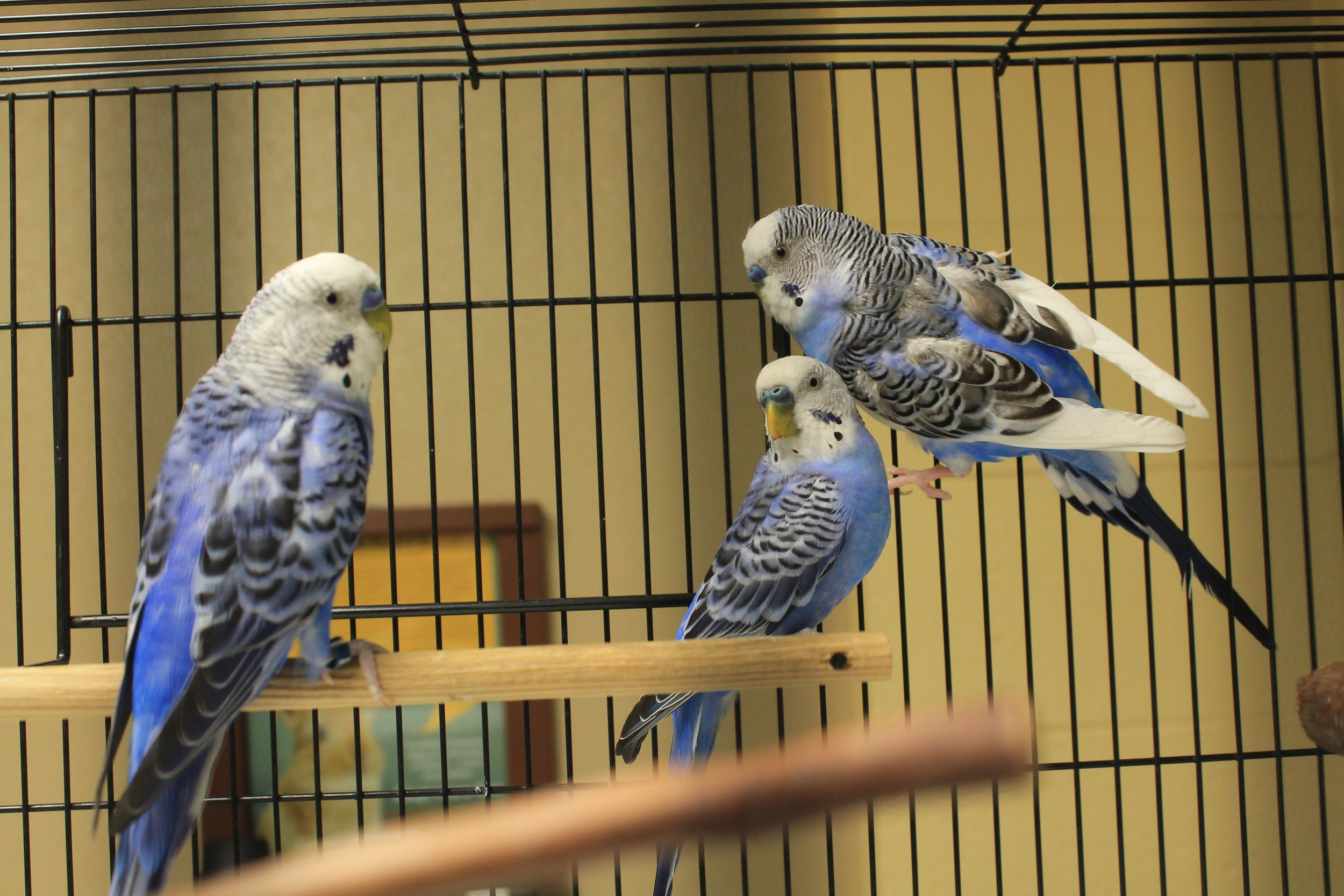 Sparky, Scooter,and Skipper must be adopted as a trio. They enjoy hanging out and chatting with each other. Valentines Day is around the corner and you are sure to fall in love!