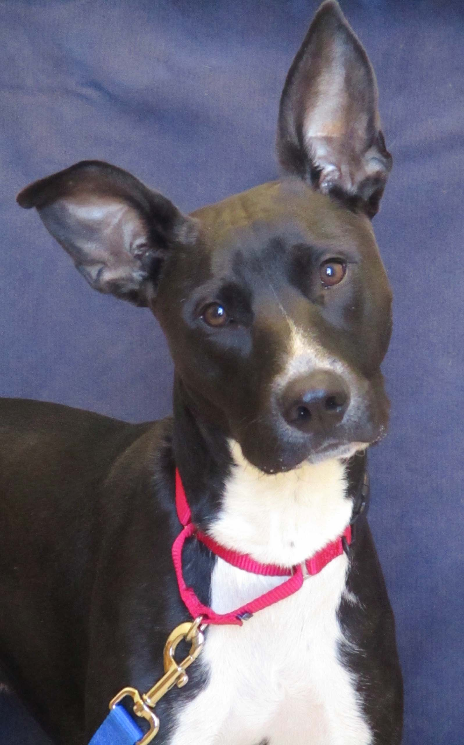 Troy is a 2-year-old Labrador mix. His play style is rambunctious because he LOVES toys! He would do best in a house without cats. If you're looking for a walking or running companion, he may be the one. (Side note--look at those ears!!)
