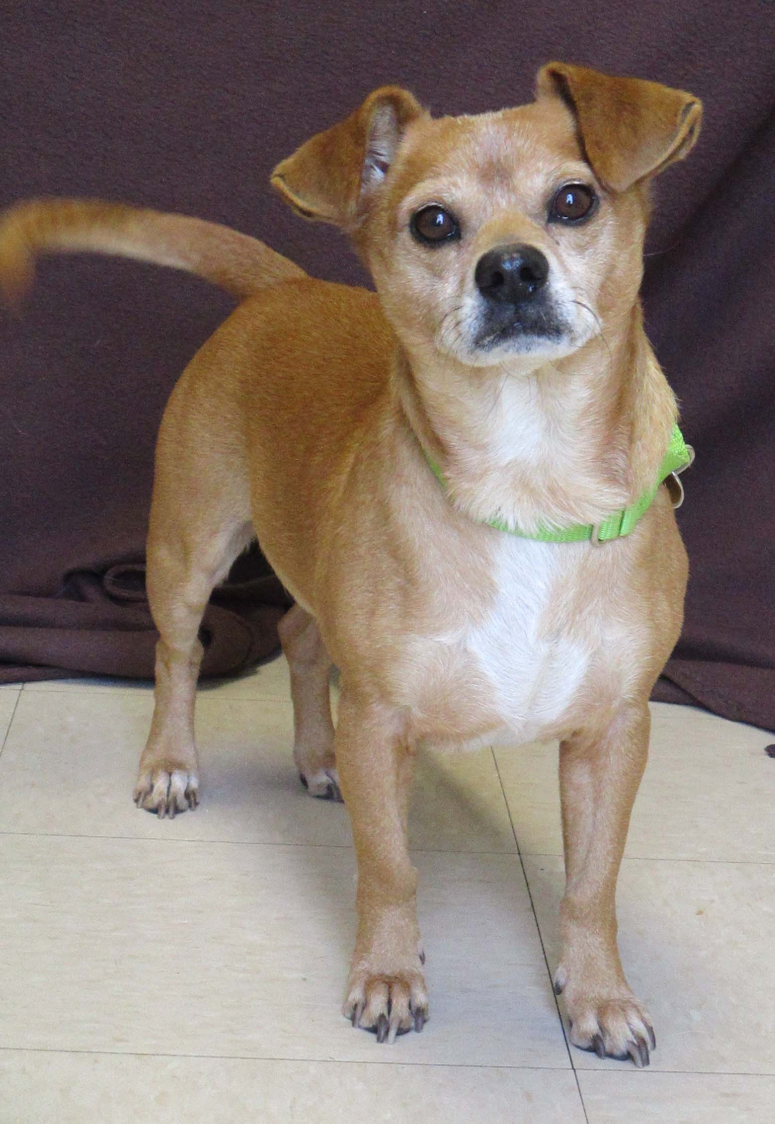 """Guapo is an 8 year old Chihuahua. His name fits him well as it means """"handsome"""" in Spanish. His good looks are accompanied with character and personality. He does have to go to a home with teens and older because he enjoys petting on his terms."""