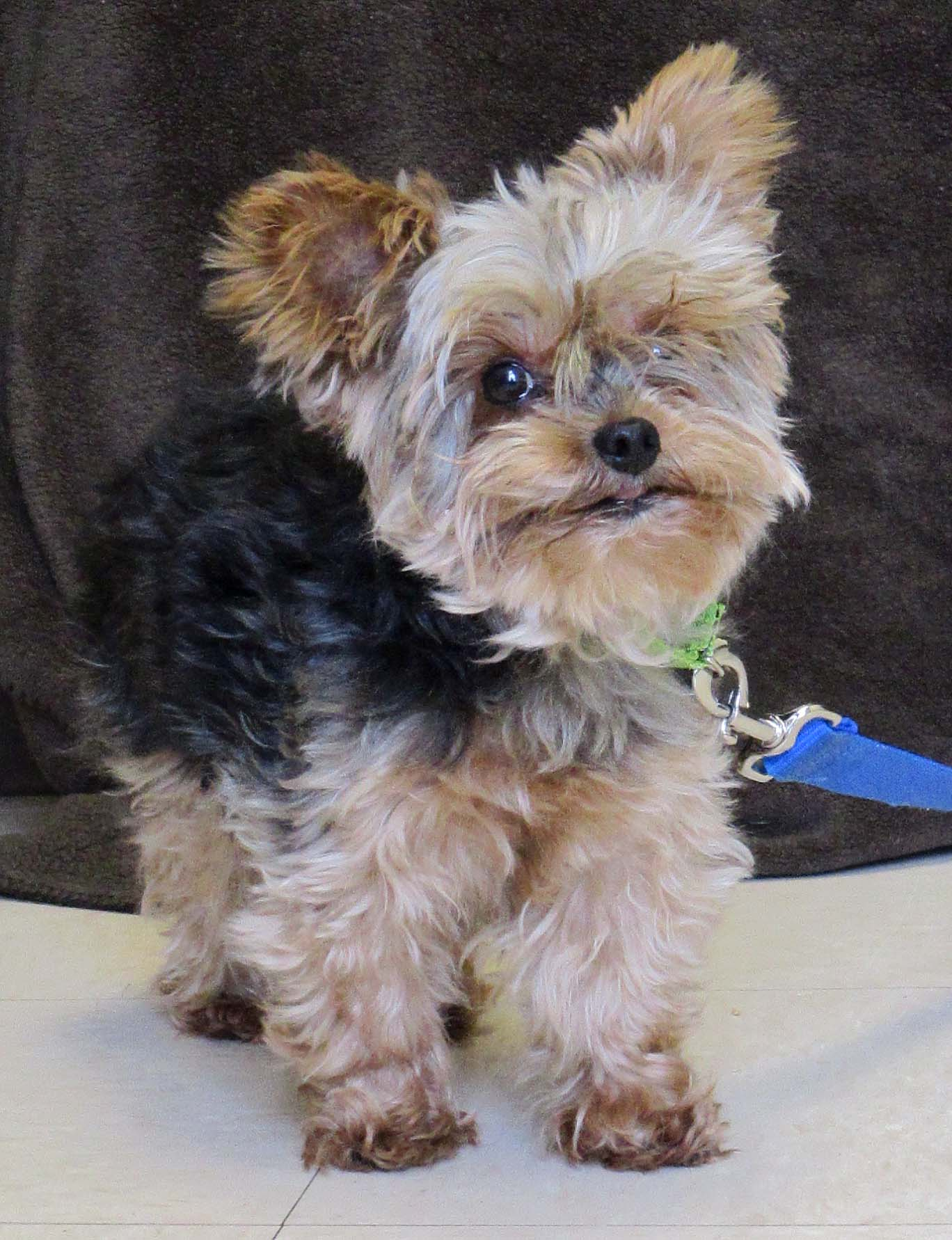 Milo is an 8 year old Yorkshire Terrier. He would do best in a home with older children as he can be scared of quick movement, loud noises, and even new places. Once he warms up to new people, he is a cuddly boy.