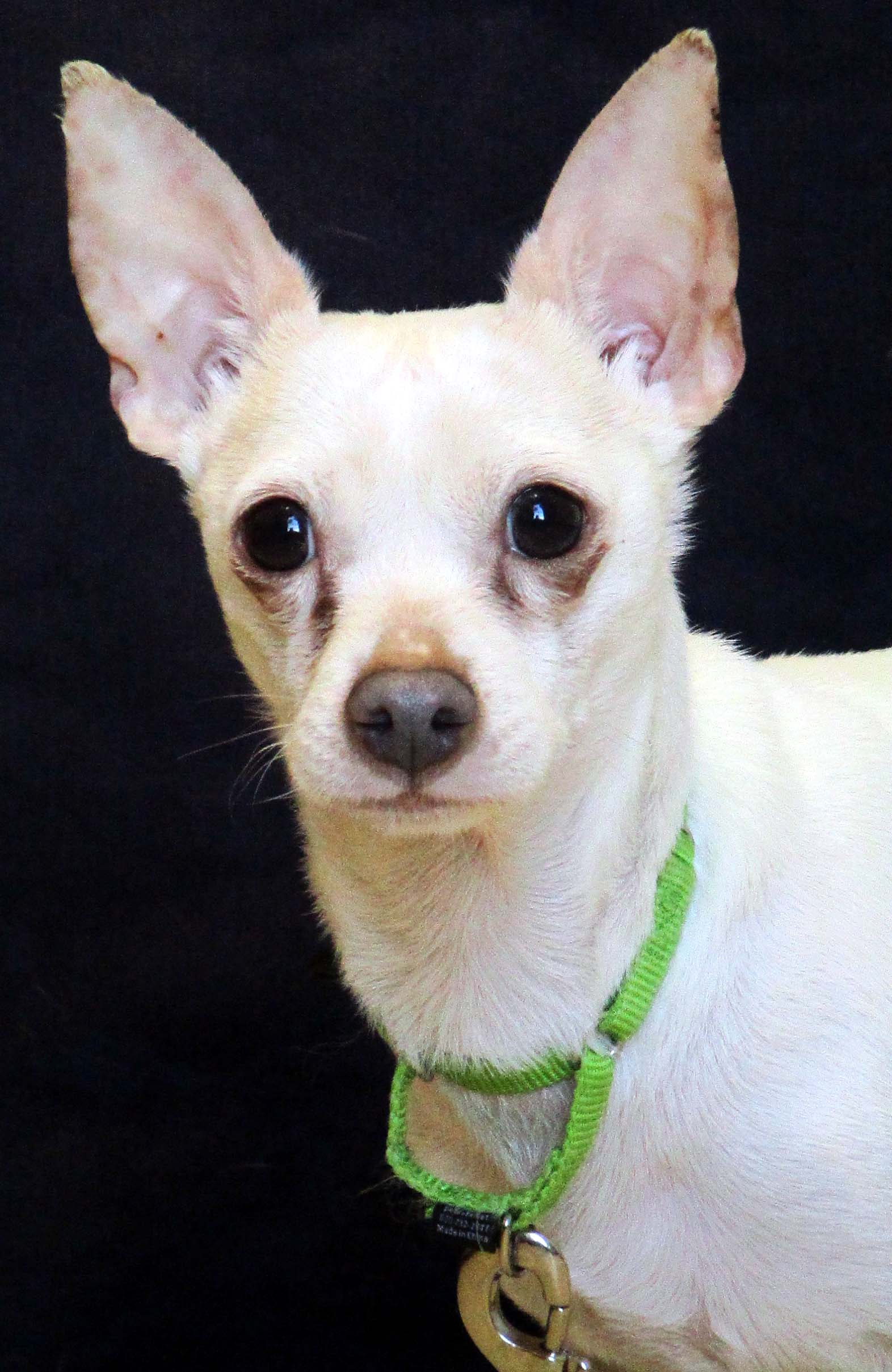 Mr. Bigg is a 6 year old Chihuahua. He can be scared of new people initially but once he has bonded his personality shines. He does well with other animals unless they rush his space. Patience definitely has BIG rewards with this boy.