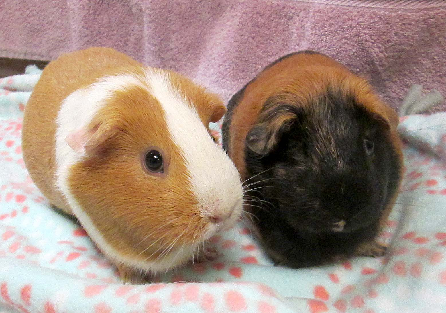 Lily and Nova are adult female Guinea Pigs. They enjoy each other's company and when they get used to your scent they will enjoy you as well. When they are happy, they let you know with a squeal or whistle!