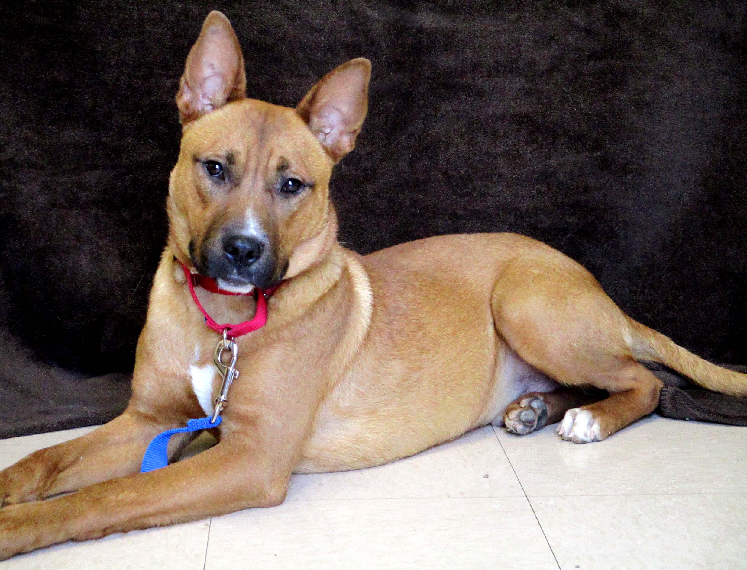 Hollister is a 2 year old Labrador and Pitbull Terrier mix. HAWS is recommending older children because he is timid initially. He will do best being the only pet. If you are looking for a dog to walk and hike on leash with you, he may be the one