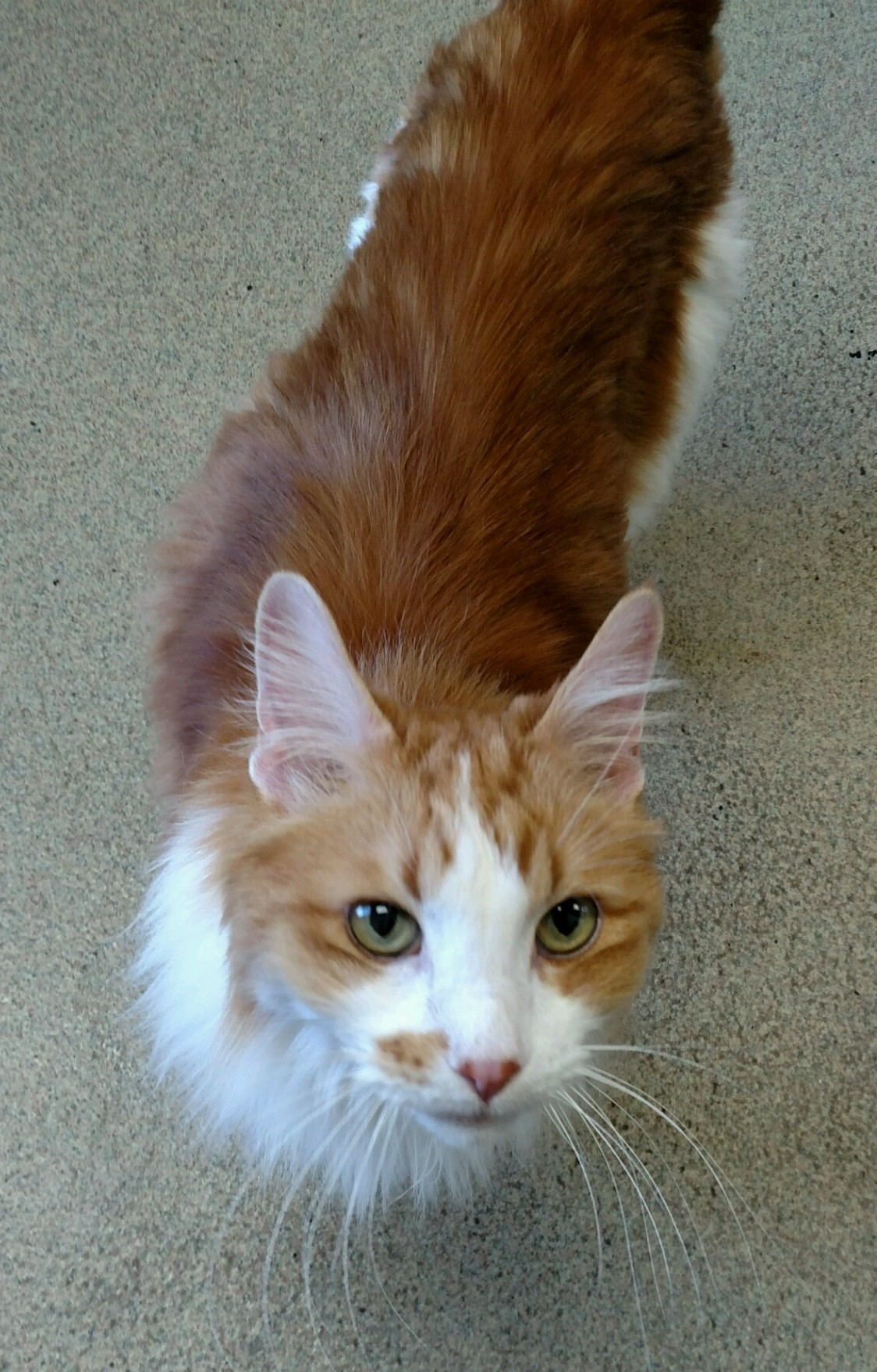 Purcy is an 11 year old Domestic Long Haired Mix. The original owner passed away and he ended up at HAWS. He is very social and a talker.