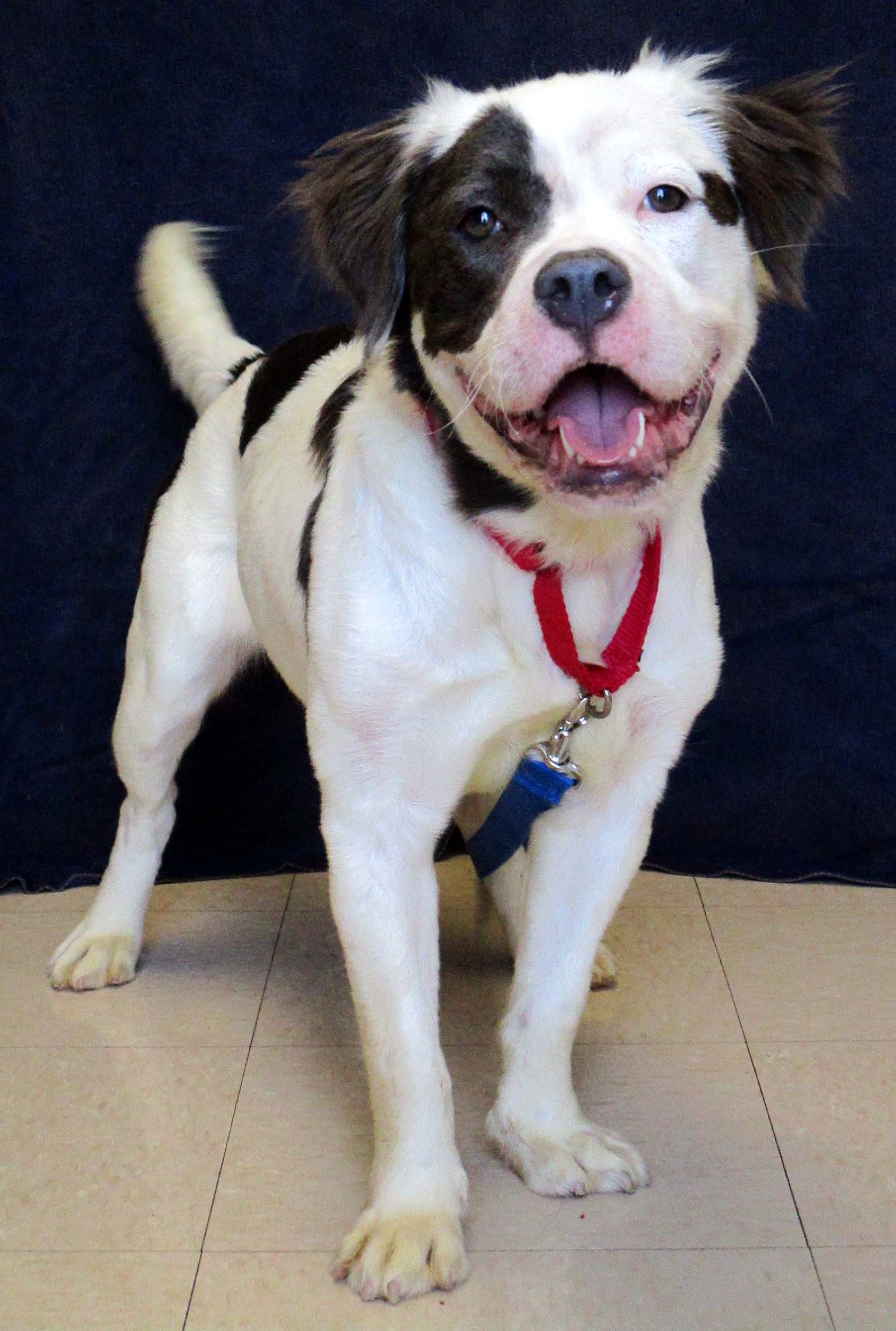 Piper is a 1 year old Spaniel Mix. Is your household looking for a dog that has done well with other animals at the shelter and has been very social with people? If so, she is a must-meet dog for you. Give her 5 minutes of your time and she will leave you charmed!
