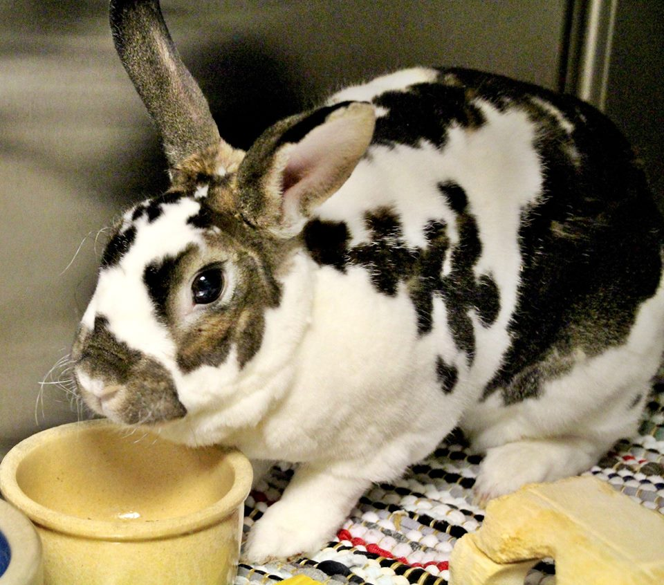 Smores is a 3-year-old female Rex rabbit. She is active and loves to run bunny 500's. Her adoptive home should keep in mind everybody needs somebunny to lean on.
