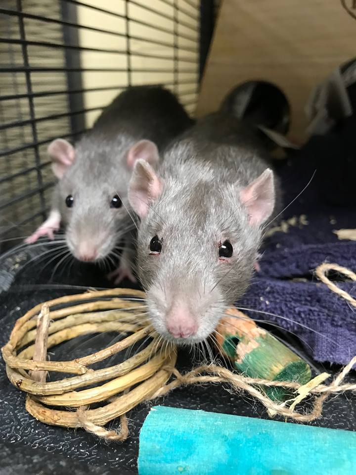 Juan, Ponch, and Cisco are 3 month old rats. They are like the three musketeers and go everywhere together including their adoptive home. They will run towards you for affection and love to explore. Cisco would not get out of bed for the photo! :)