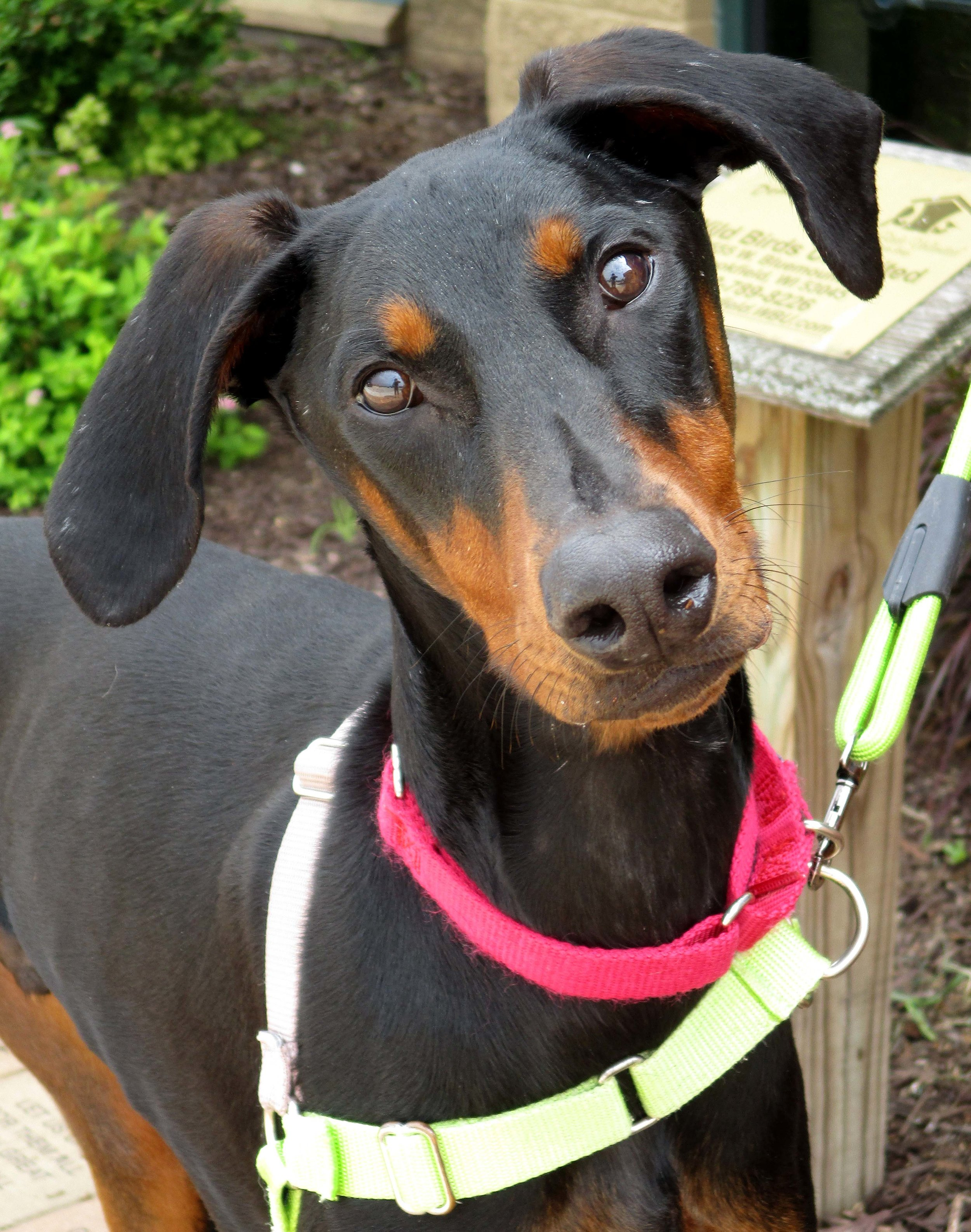 Ruger is is a 1 year old Doberman Pinscher. He has a fun and energetic personality!He will alert bark, so his future home cannot be an apartment or condominium. Once you earn his trust, you will have a best bud for life.