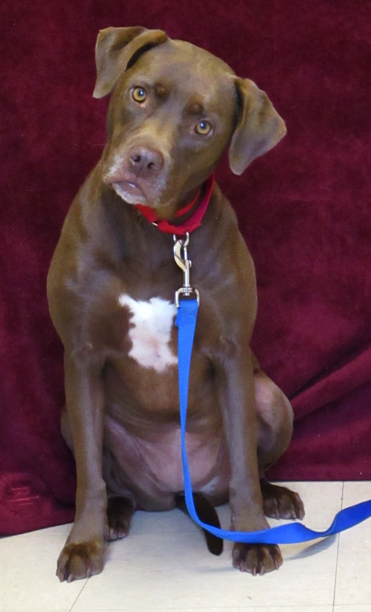 Hannah is a 4 year old Labrador Retriever mix. HAWS is recommending children 10 and older because she doesn't like to share toys. Hannah warms up slowly but her friendship is worth the wait! She is cautious but also curious.