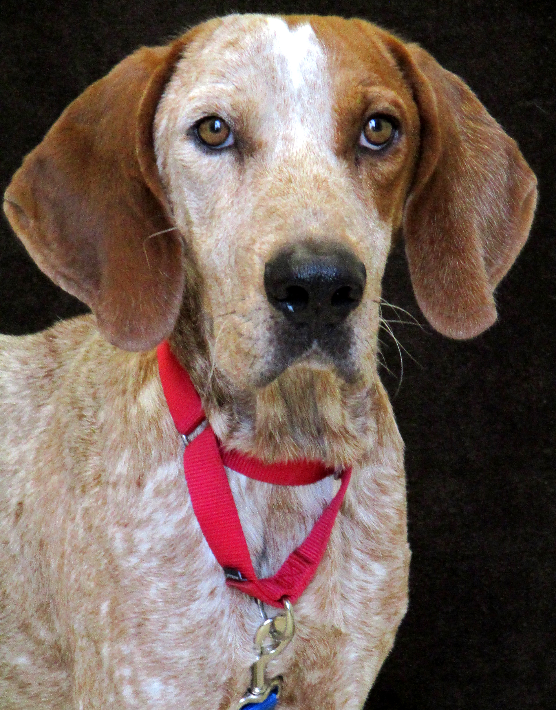 Red is a 4 year old Coonhound. He is a tall and active boy that loves searching for lost food in low and high places. He is a not a fan of sharing the attention of his people so he would do best being the only pet in the house. He is an active boy that would love to be a part of an energetic household.