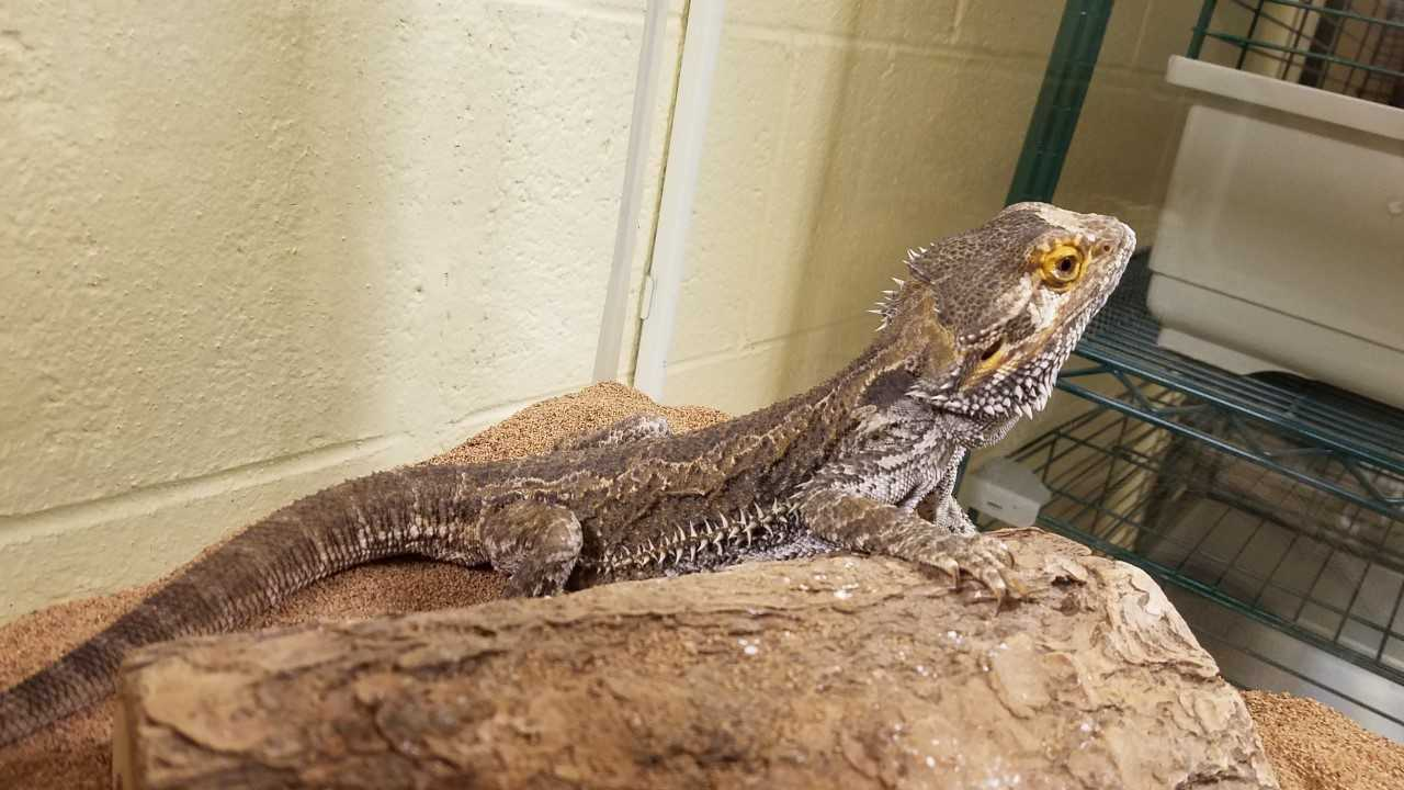This week's Pet of the Week is Spikey! He is a common Bearded Dragon. He is seven years old and about 14 inches long and a beautiful creature. He likes dogs and cats and really enjoys being carried around by his people. His previous owners said he will kiss your cheek or neck while riding on your shoulder. He is a really nice guy who enjoys being handled. Stop in and see if Spikey the Friendly Dragon is the right pet for you.
