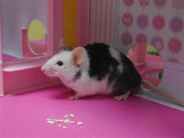 Jeremy the mouse (2) 052319.jpg