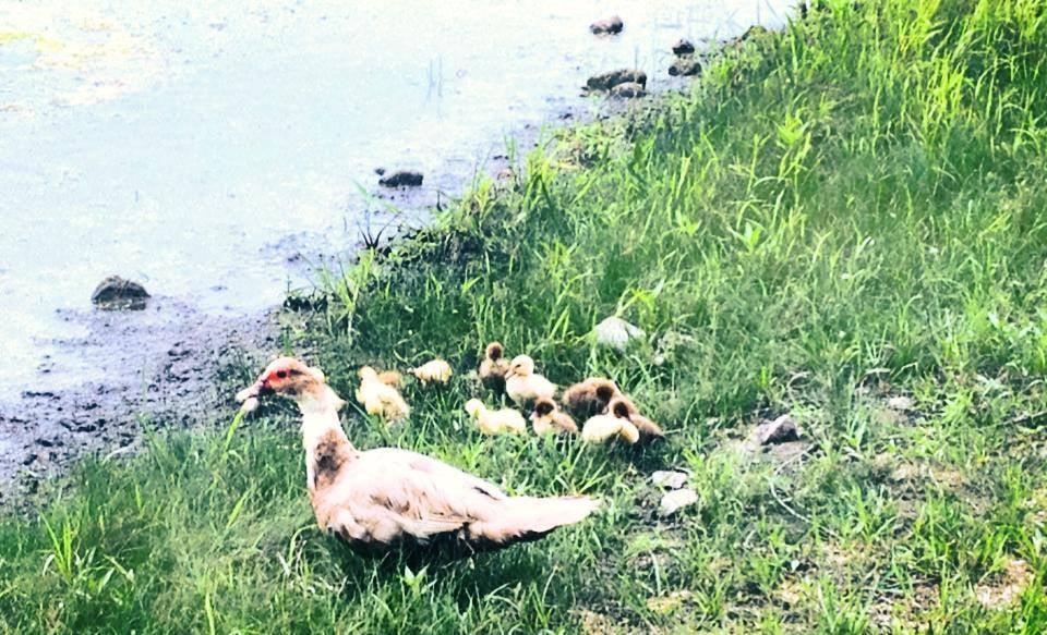 ducklings by lake.jpg