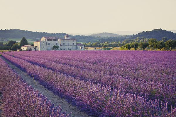 lavender field low res.jpg