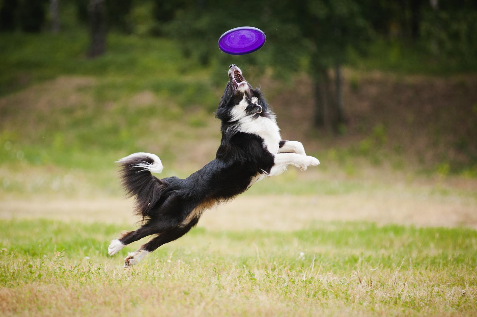 bigstock-Frisbee-dog-36722485.jpg