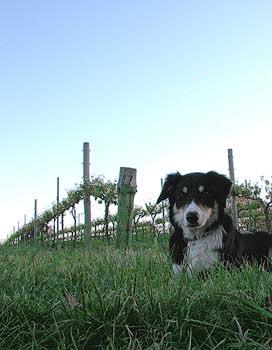 Murdoch Hill dog.jpg