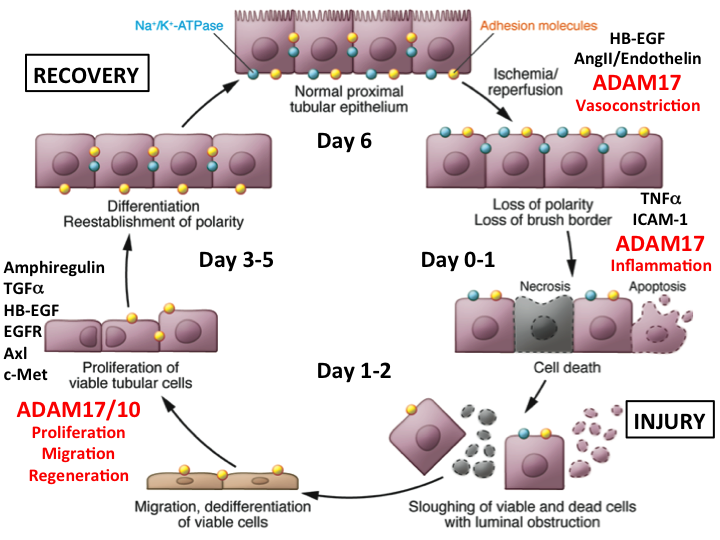 Repair of tubular cells after kidney injury involves the activation of metalloproteases (which cleavage EGF ligands) and EGF receptor activation.