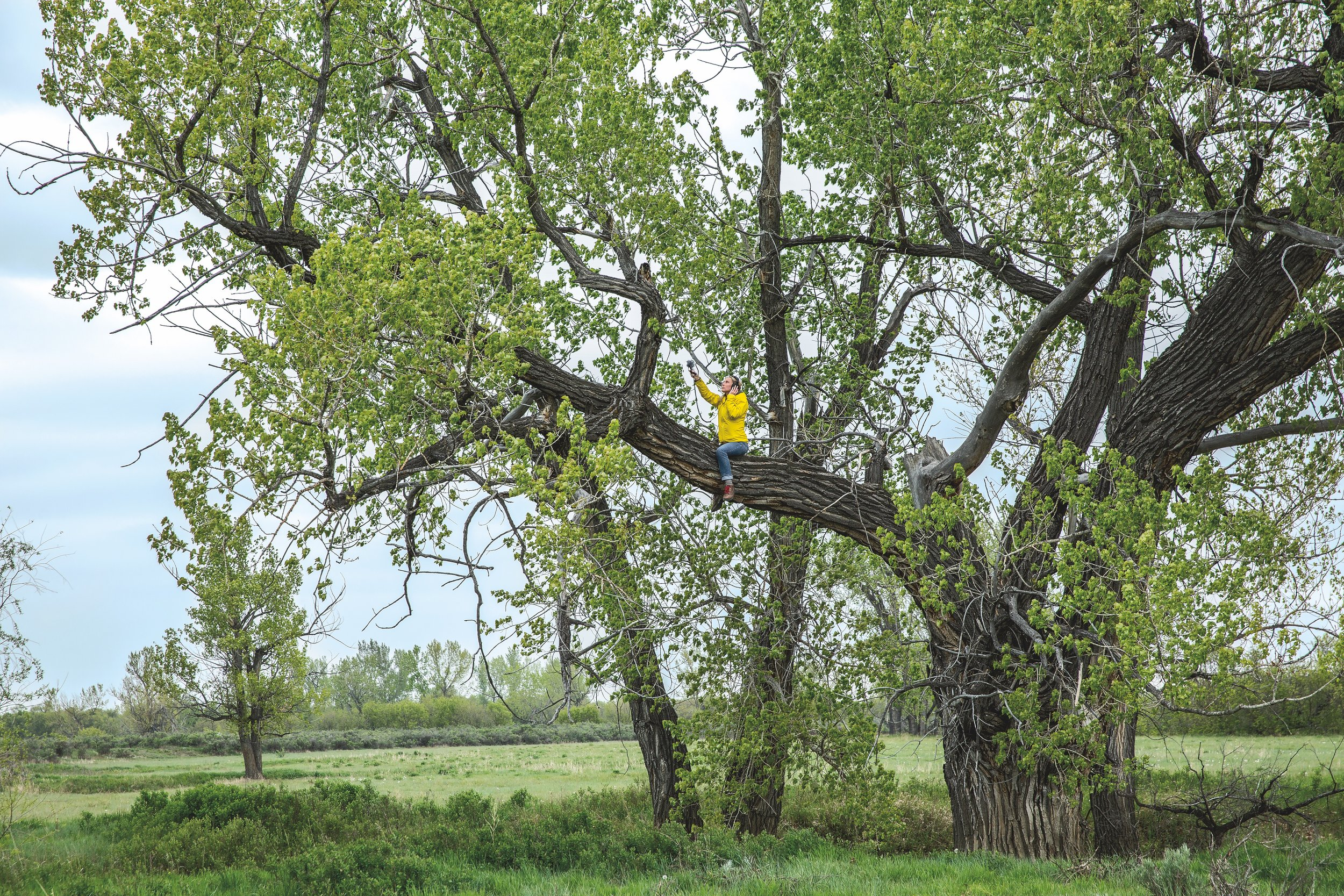 Composer Jessica Kilroy goes out on a limb to record wind in the cottonwoods. American Prairie Reserve, North Central Montana.Photo credit to Lee Cohen