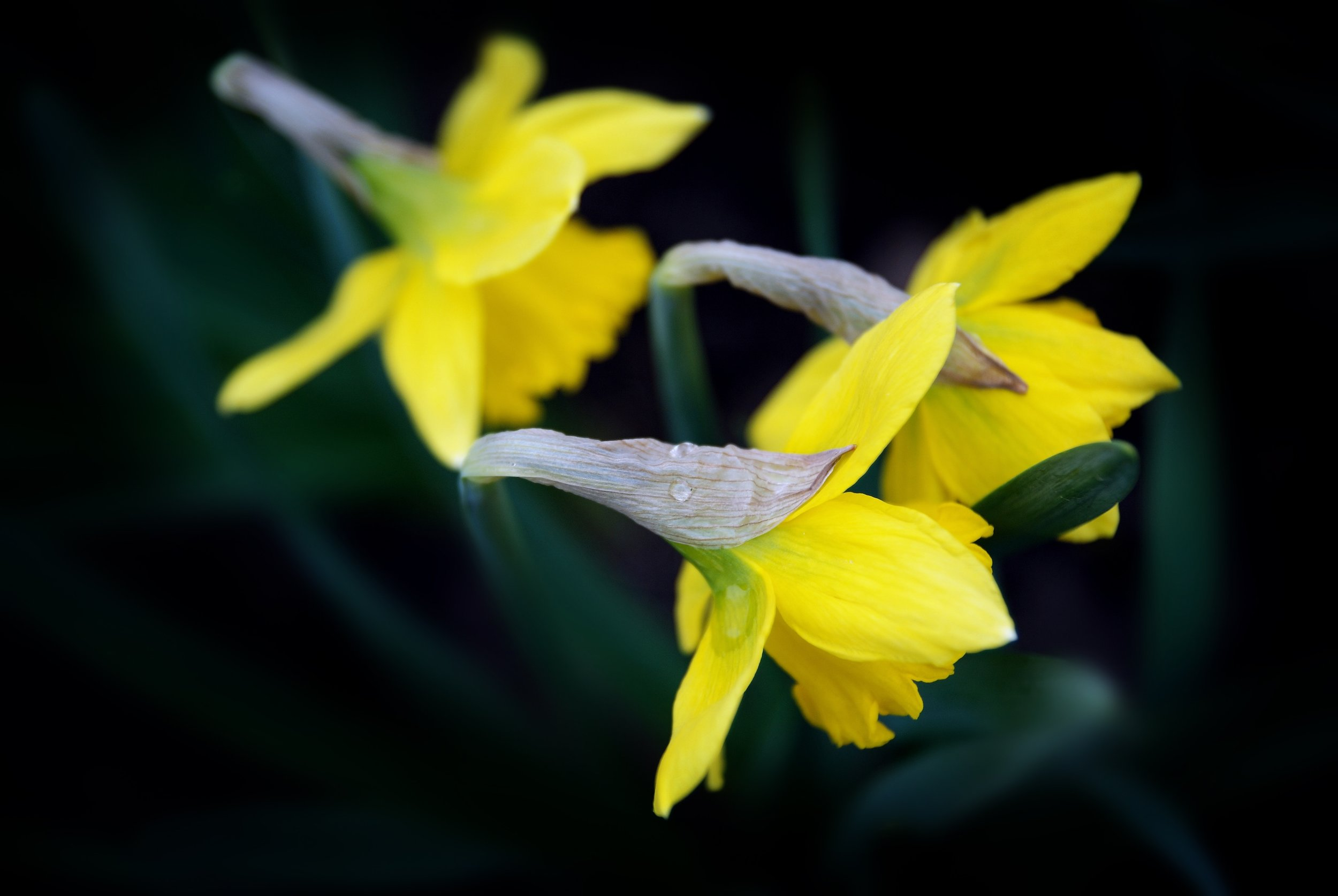 Daffodils in bloom.