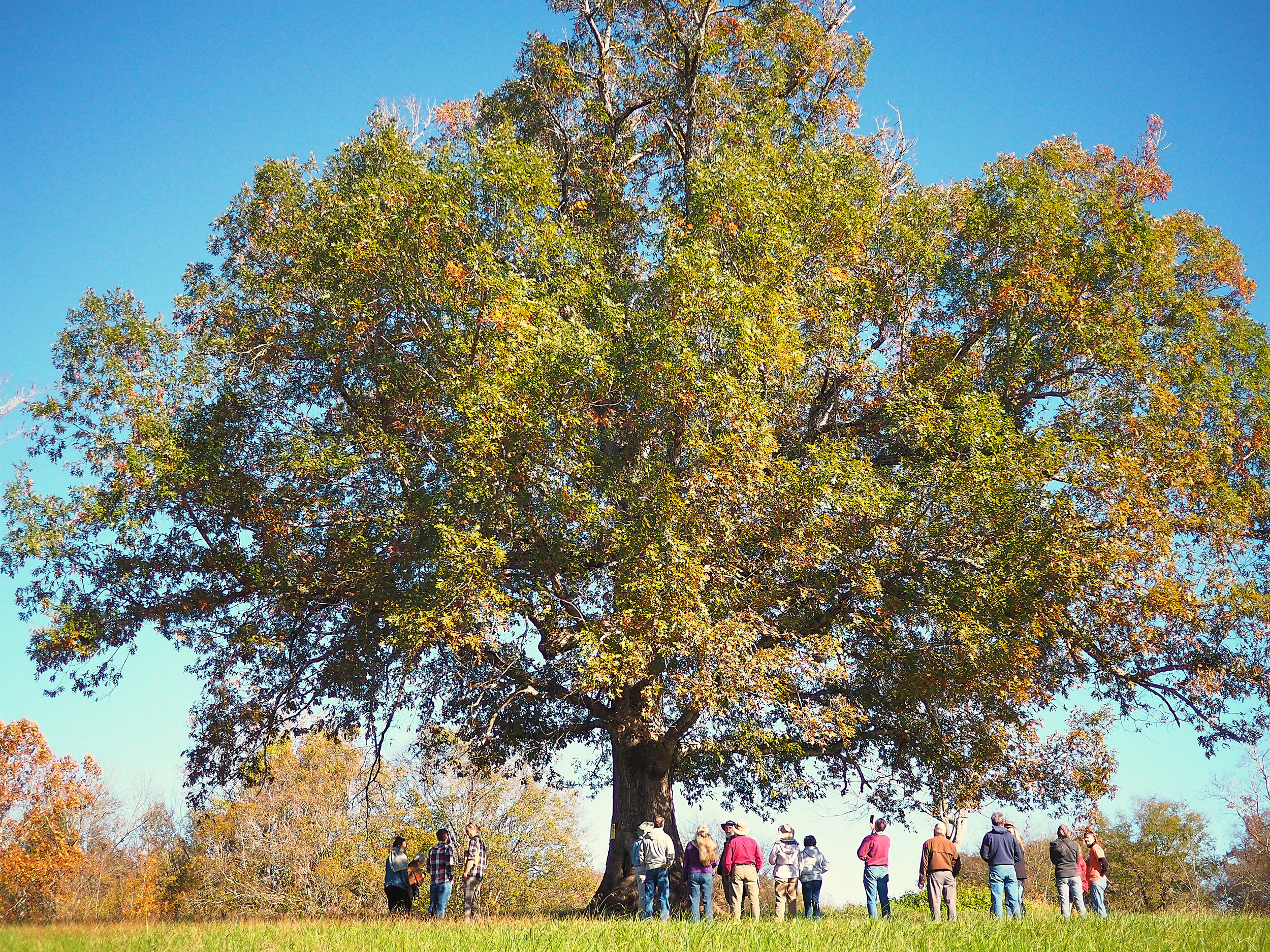 Landowner along the proposed MVP Southgate project would lose this beautiful tree if the project is approved