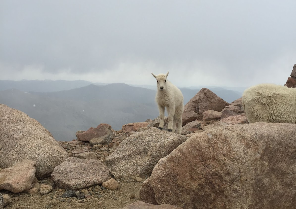 This little goat, posed with the Rockies behind her, is a part of the community that lives in national parks.