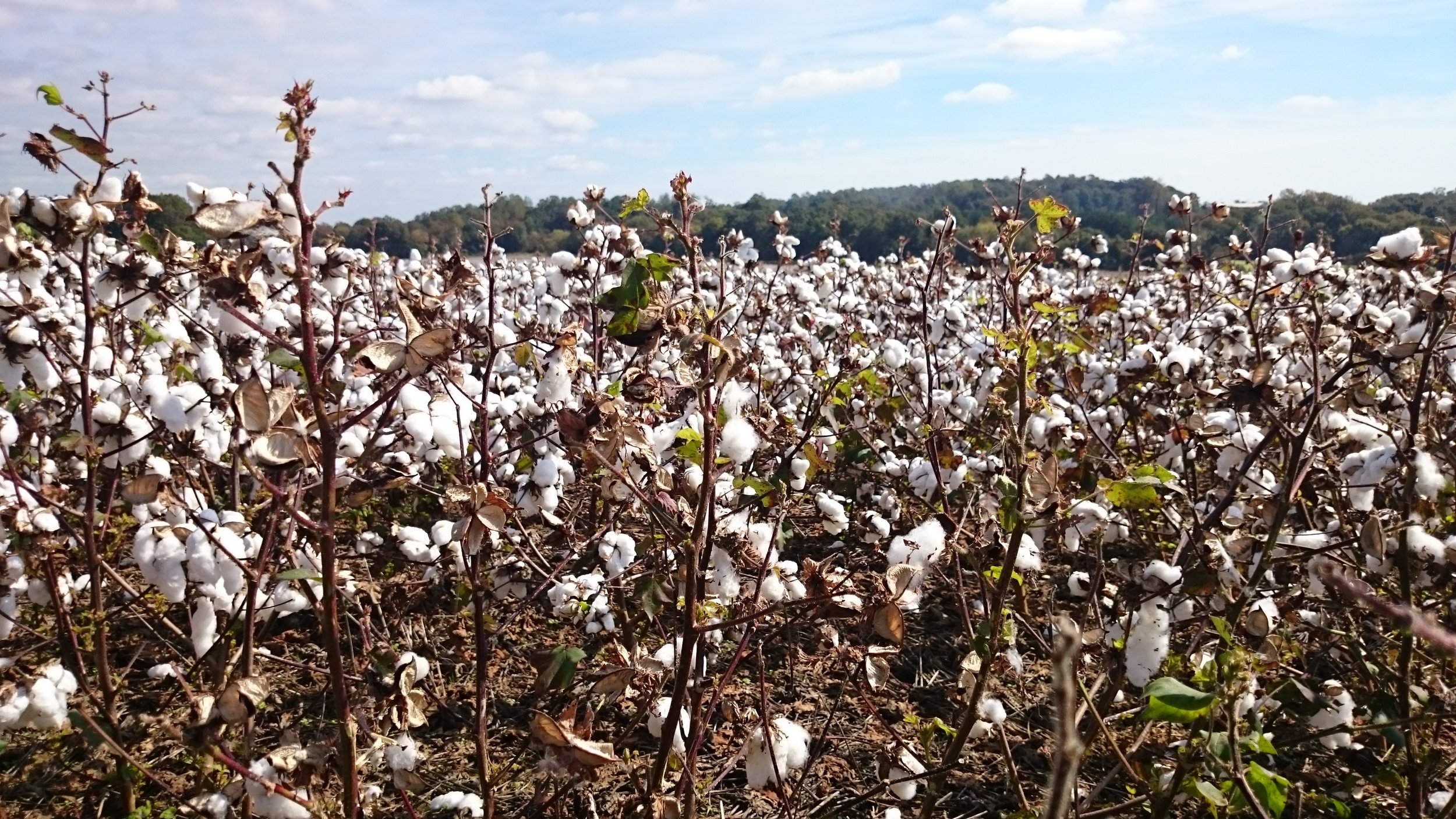 2016.10.15_Cotton Field 1.jpg