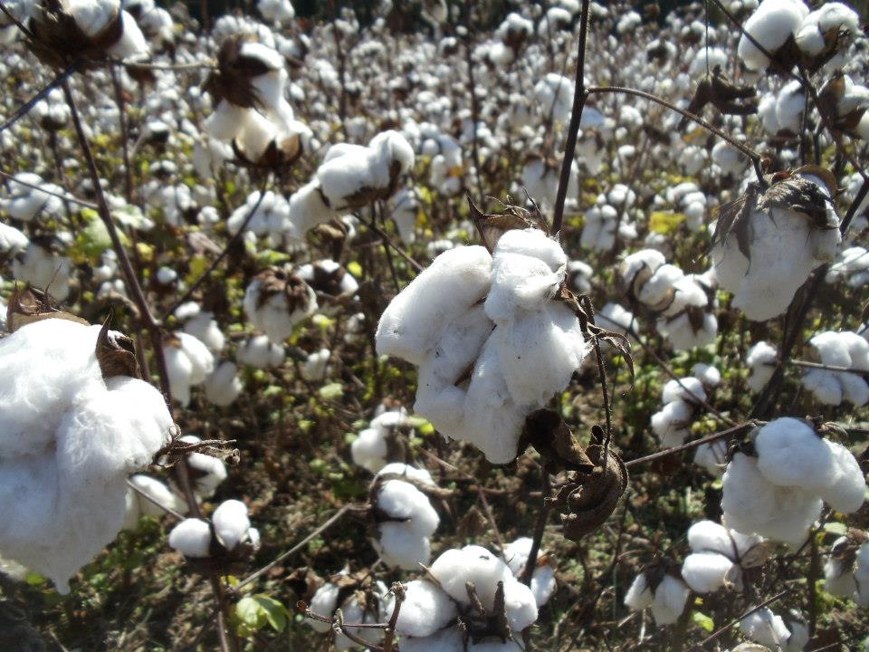 2012_Cotton Field.jpg