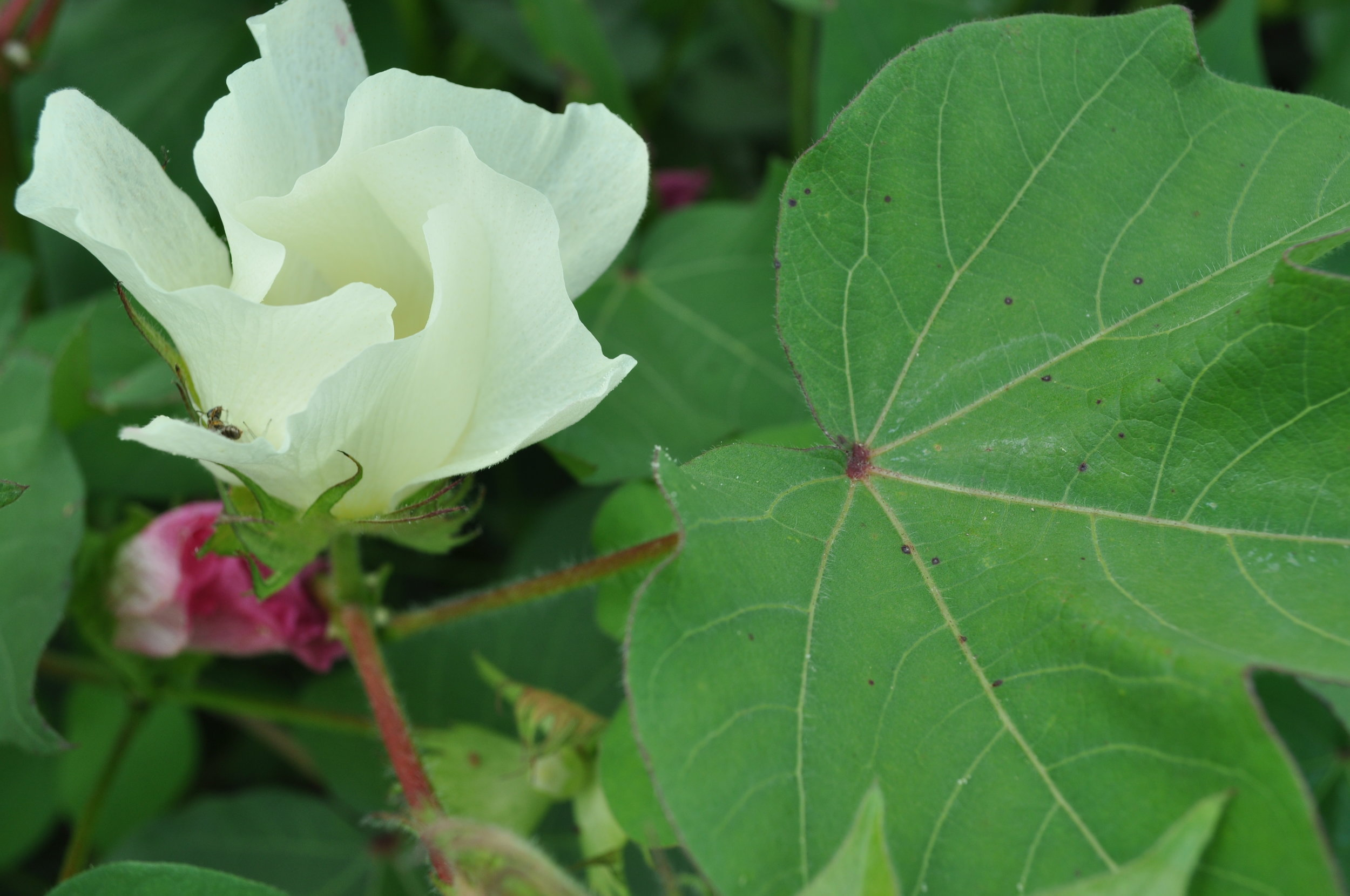 2011_Cotton Flower.JPG
