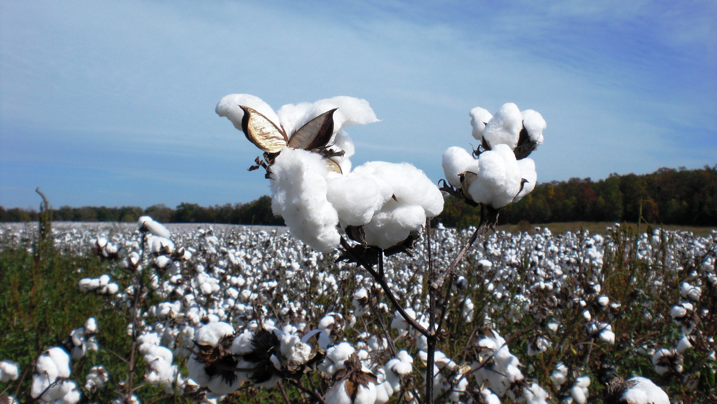 2008_Cotton Field.JPG