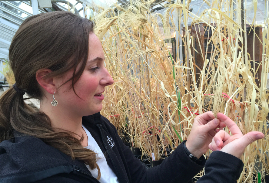 Laura Helgerson, the Oregon State University faculty research assistant who oversees the barley plants in the greenhouse and the field, examines a 2-row barley strain that's getting close to harvest stage. Photos by Patty Mamula
