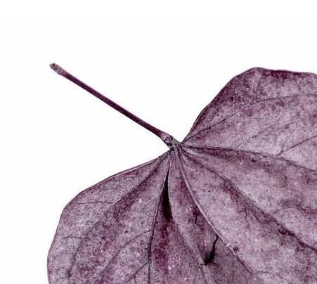 Catherine Jeltes,   Purple Leaf