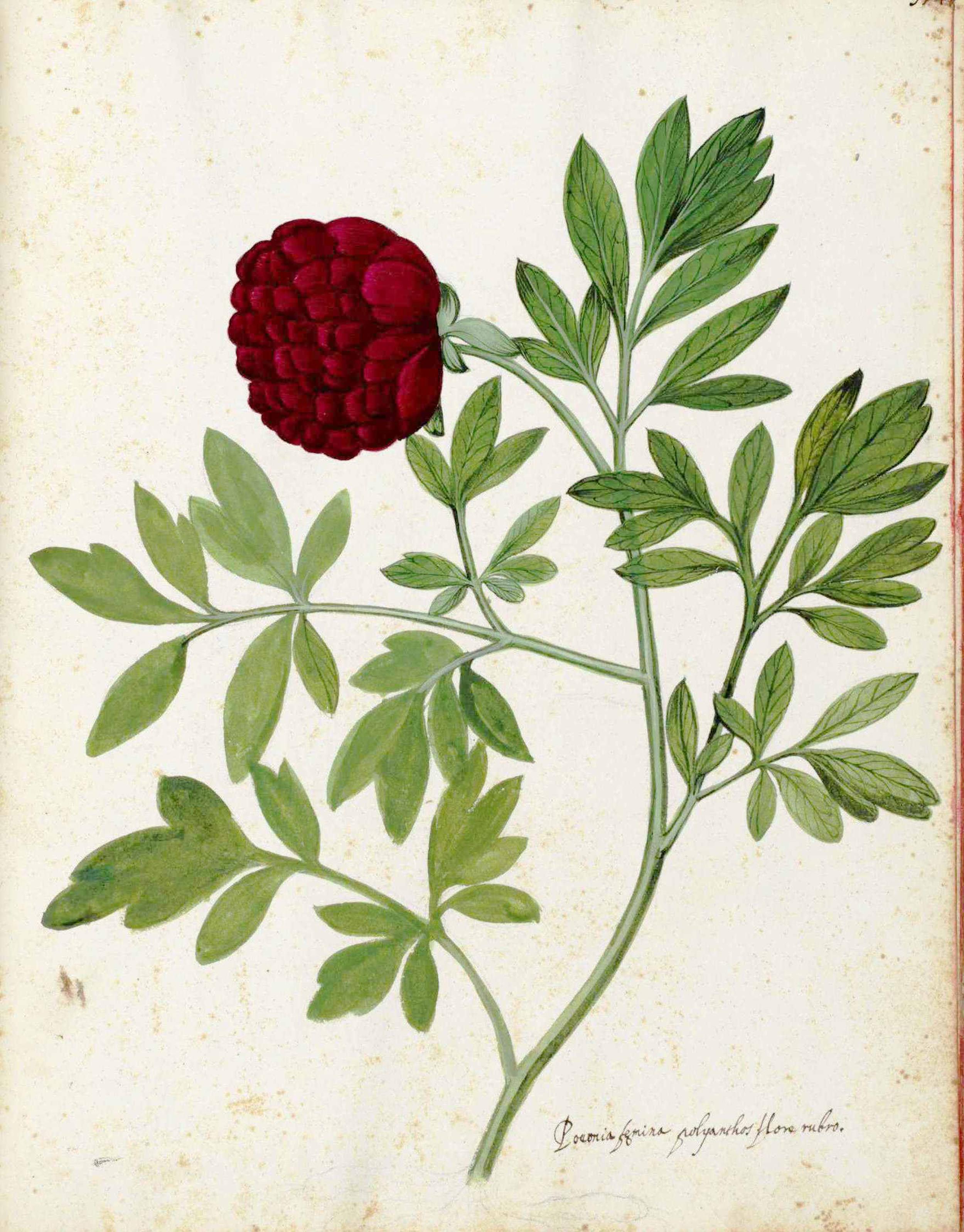 Botanical Rose.240.jpg
