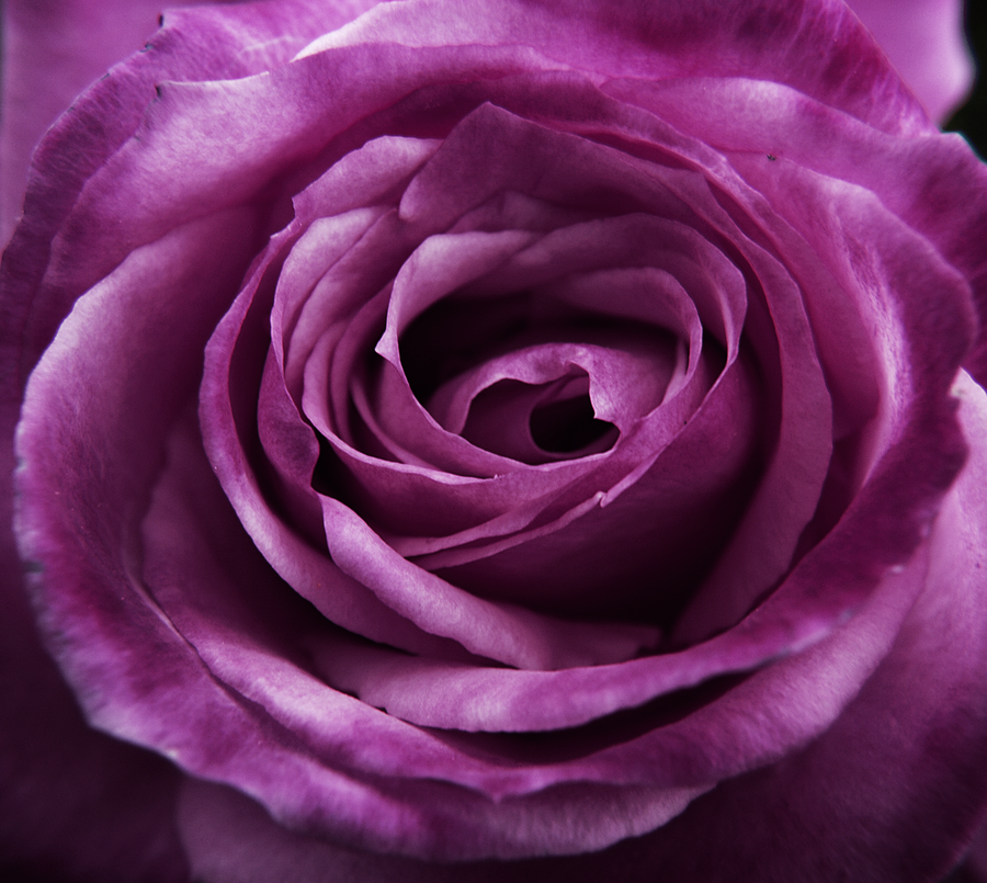 Purple_rose_by_somethingunuasul.png