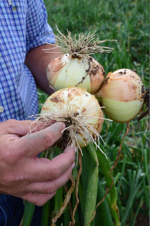 onionfarmer.jpg