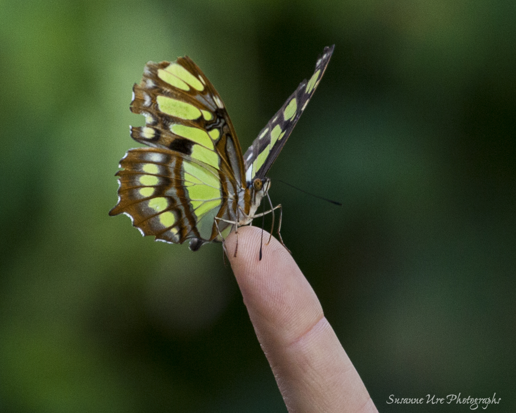 Butterfly Show