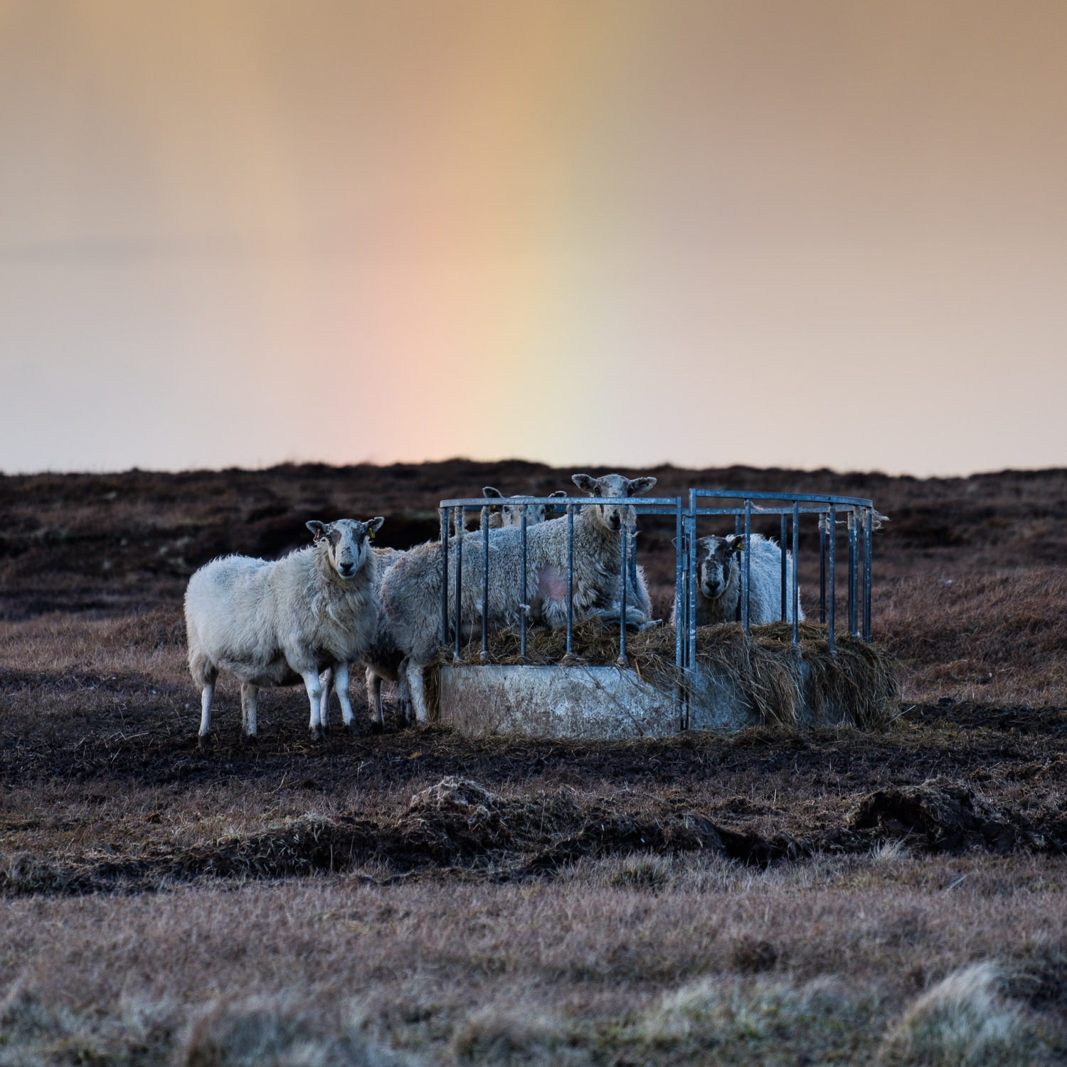 Rainbow Sheep