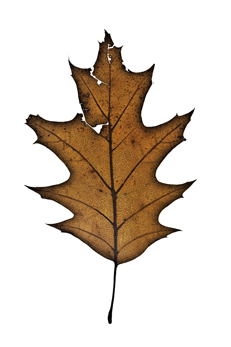 Untitled, Autumn Leaves series,  2012; Archival pigment print; 17 x 11 inches