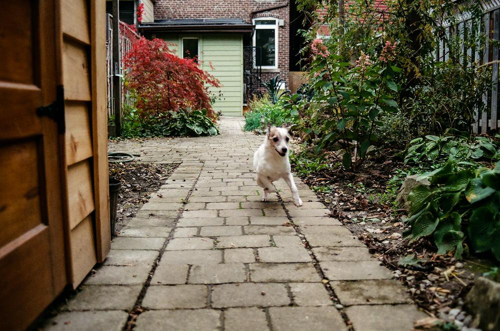 Jack-Russell-Terrier-Toronto-3.jpg